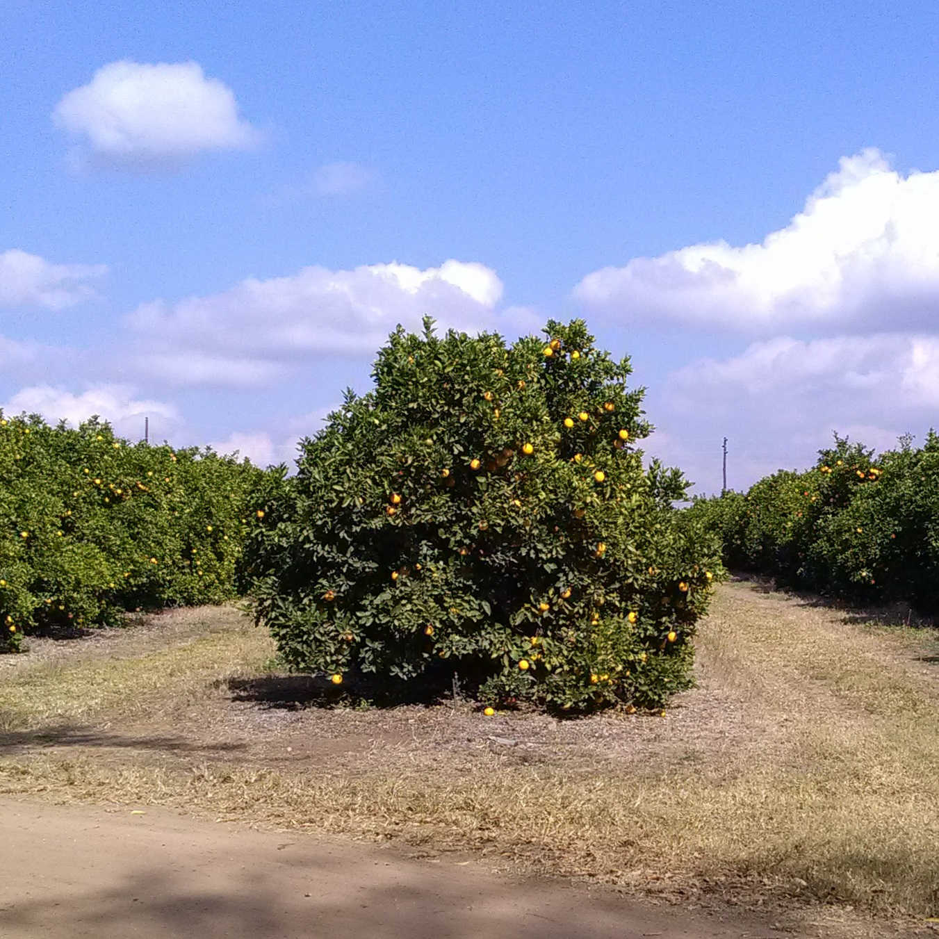 Tzaneen fruit production