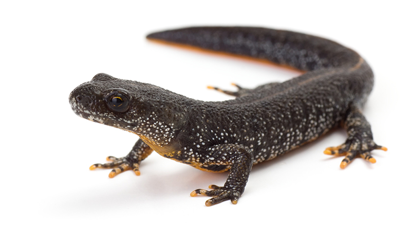 Side profile of a great crested newt