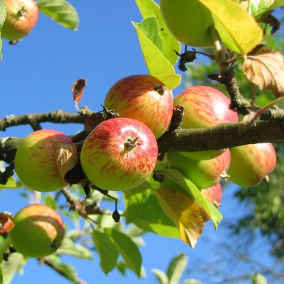 Old apple varieties could provide important health benefits