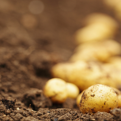 2016 05 iStock potatoes brown Agrifood Teaser 01
