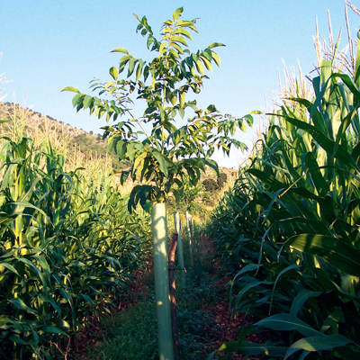 walnut and cherry trees with maize